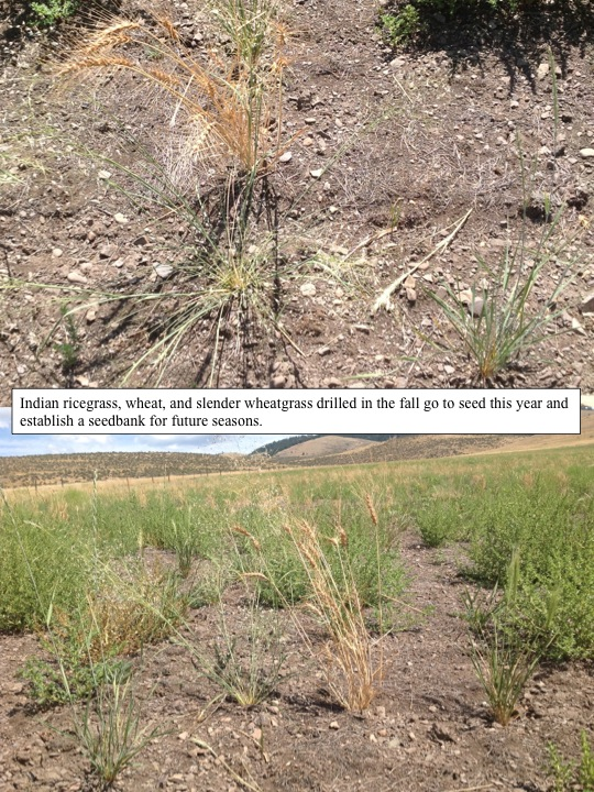 Indian ricegrass, wheat, and slender wheatgrass drilled in the fall go to seed this year and establish a seedbank for future seasons.