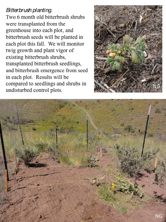 Bitterbrush Competition Removal Update: Planting