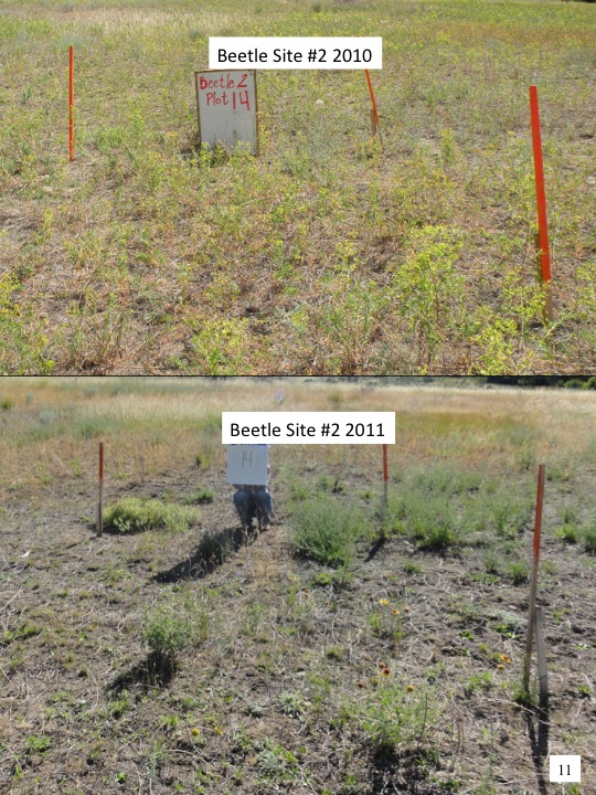 Evaluation of 2010 Treatments of Category 3 Areas: Beetle Site 2 -2010 vs 2011