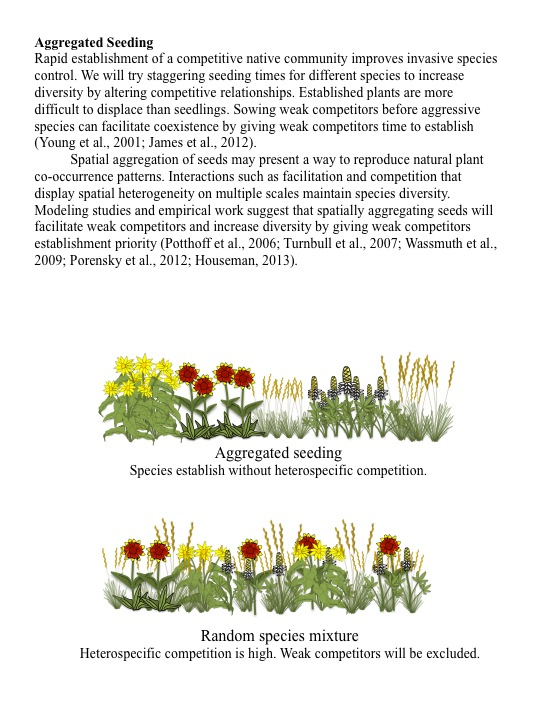 Rapid establishment of a competitive native community improves invasive species control. We will try staggering seeding times for different species to increase diversity by altering competitive relationships. Established plants are more difficult to displace than seedlings. Sowing weak competitors before aggressive species can facilitate coexistence by giving weak competitors time to establish (Young et al., 2001; James et al., 2012). Spatial aggregation of seeds may present a way to reproduce natural plant co-occurrence patterns. Interactions such as facilitation and competition that display spatial heterogeneity on multiple scales maintain species diversity. Modeling studies and empirical work suggest that spatially aggregating seeds will facilitate weak competitors and increase diversity by giving weak competitors establishment priority (Potthoff et al., 2006; Turnbull et al., 2007; Wassmuth et al., 2009; Porensky et al., 2012; Houseman, 2013).