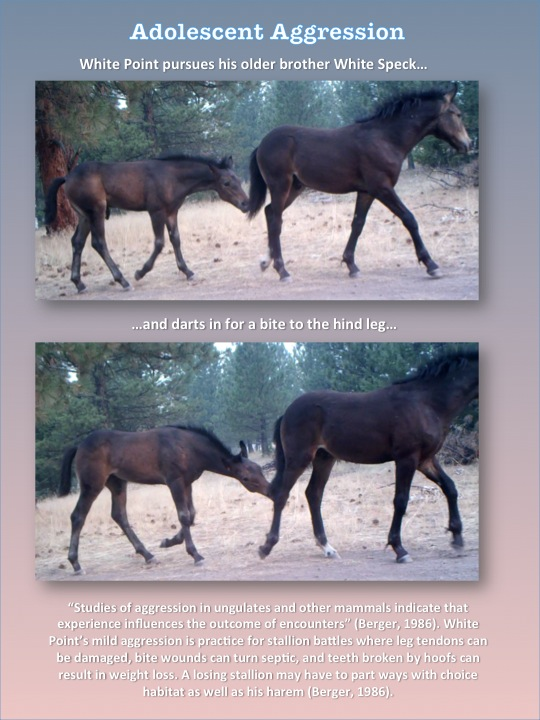 Wild Horse Adolescent Aggression