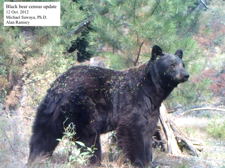 Black Bear Census Update