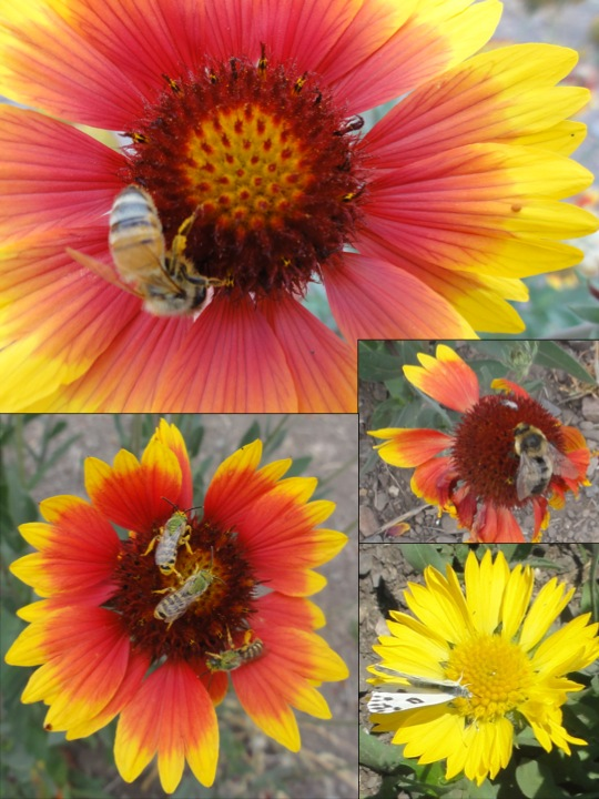 10-27-11 Restoration Experiments Update: Bees on Flowers