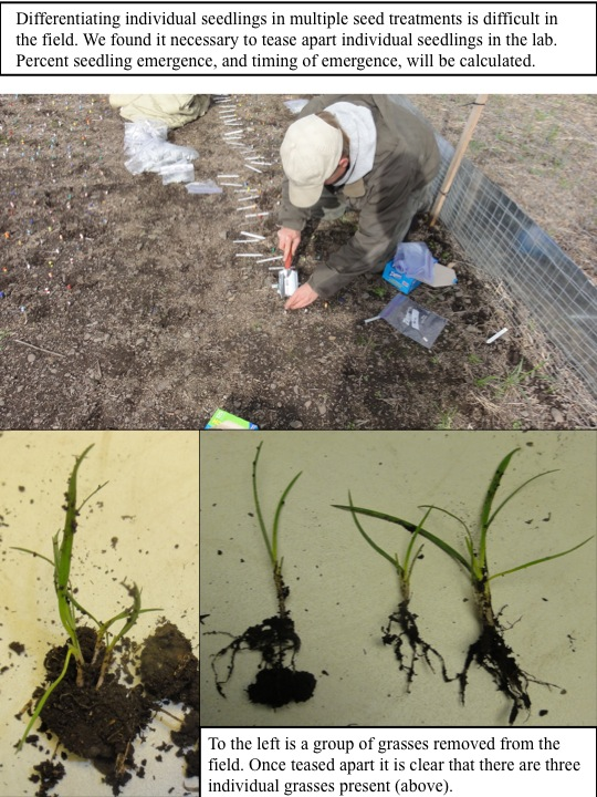 10-27-11 Restoration Experiments Update: Individual seedlings in Multiple Seed Treatments