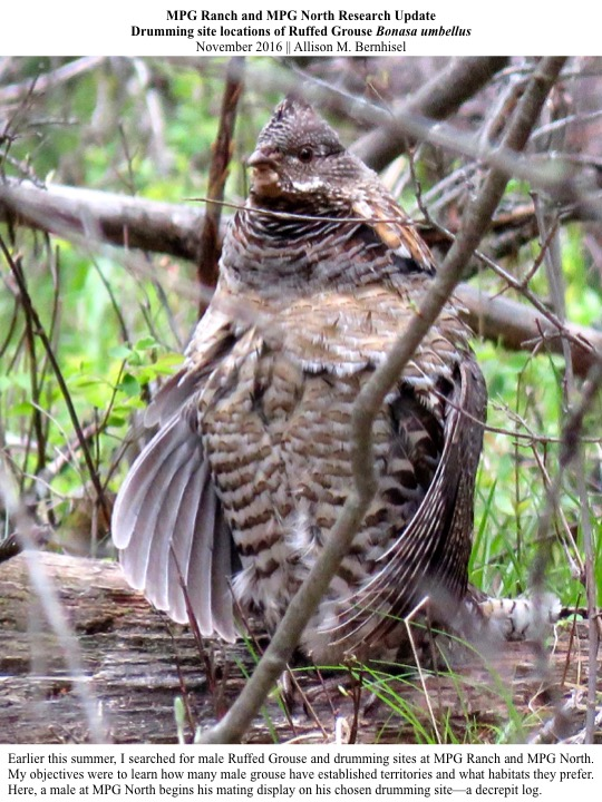 Earlier this summer, I searched for male Ruffed Grouse and drumming sites at MPG Ranch and MPG North. My objectives were to learn how many male grouse have established territories and what habitats they prefer. Here, a male at MPG North begins his mating display on his chosen drumming site—a decrepit log.