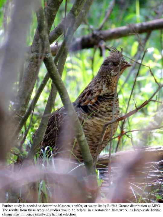 Further study is needed to determine if aspen, conifer, or water limits Ruffed Grouse distribution at MPG. The results from these types of studies would be helpful in a restoration framework, as large-scale habitat change may influence small-scale habitat selection.