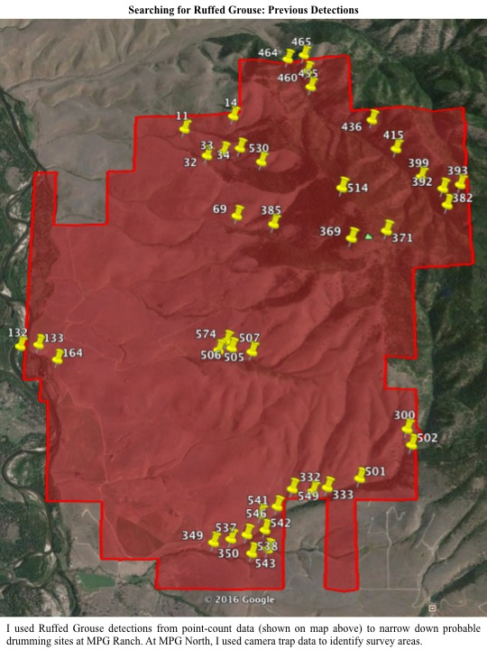 I used Ruffed Grouse detections from point-count data (shown on map above) to narrow down probable drumming sites at MPG Ranch. At MPG North, I used camera trap data to identify survey areas.