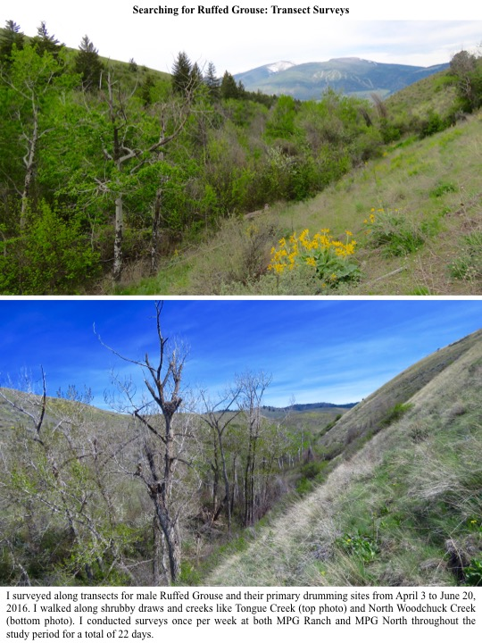 I surveyed along transects for male Ruffed Grouse and their primary drumming sites from April 3 to June 20, 2016. I walked along shrubby draws and creeks like Tongue Creek (top photo) and North Woodchuck Creek (bottom photo). I conducted surveys once per week at both MPG Ranch and MPG North throughout the study period for a total of 22 days.