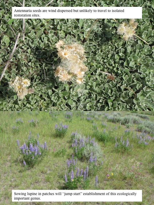 Antennaria seeds are wind dispersed but unlikely to travel to isolated restoration sites.