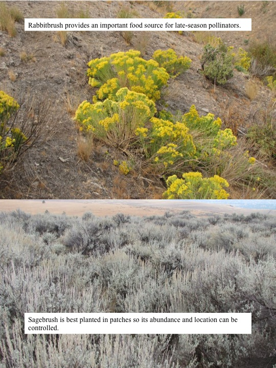 Rabbitbrush provides an important food source for late-season pollinators.