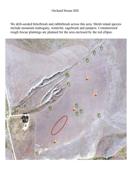 We drill-seeded bitterbrush and rabbitbrush across this area. Shrub island species include mountain mahogany, winterfat, sagebrush and junipers. Containerized rough fescue plantings are planned for the area enclosed by the red ellipse.