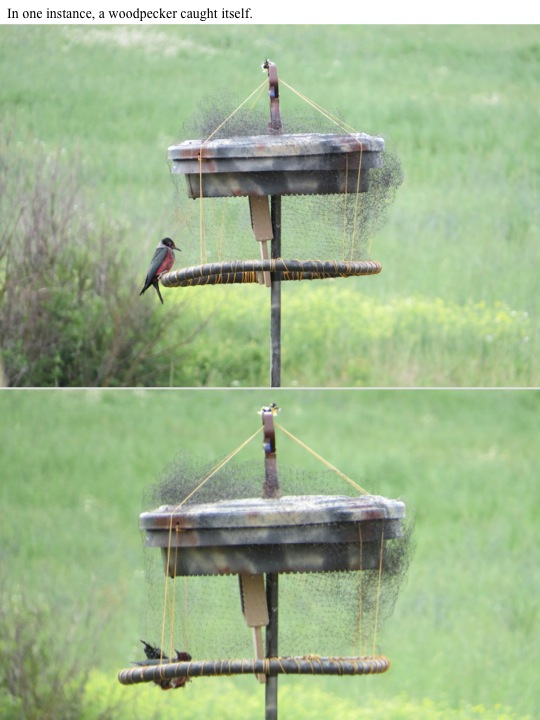 In one instance, a woodpecker caught itself.