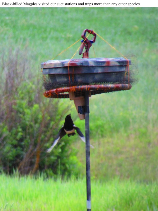 Black-billed Magpies visited our suet stations and traps more than any other species.
