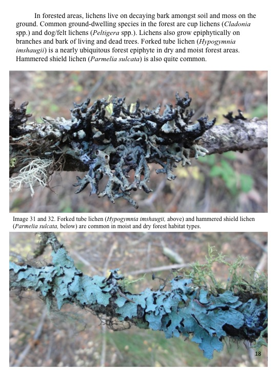 In forested areas, lichens live on decaying bark amongst soil and moss on the ground.