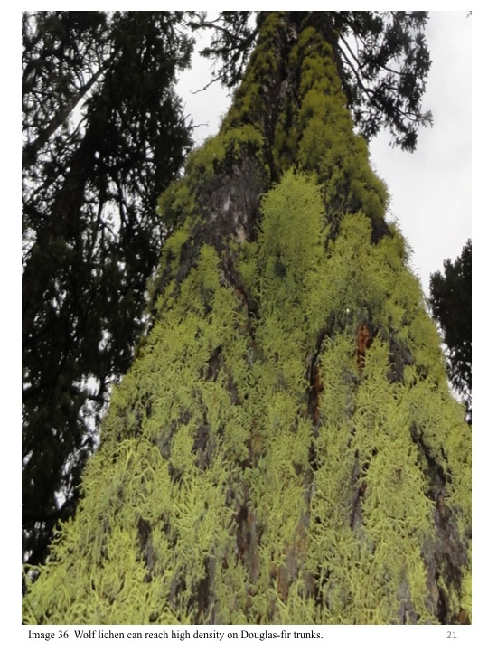 Wolf lichen can reach high density on Douglas-fir trunks.