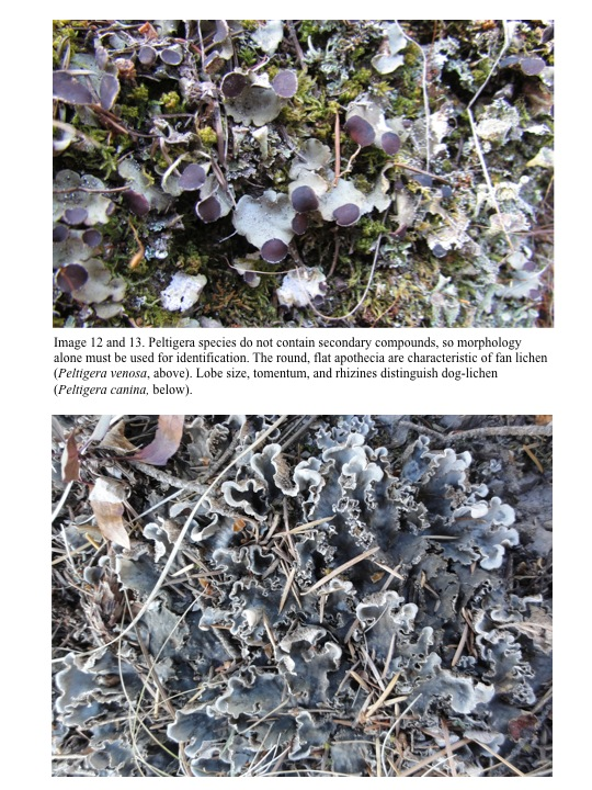 Peltigera species do not contain secondary compounds, so morphology alone must be used for identification.
