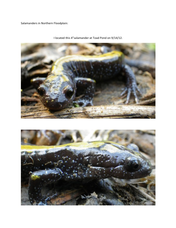 "Pictures of 4""salamander at Toad Pond."