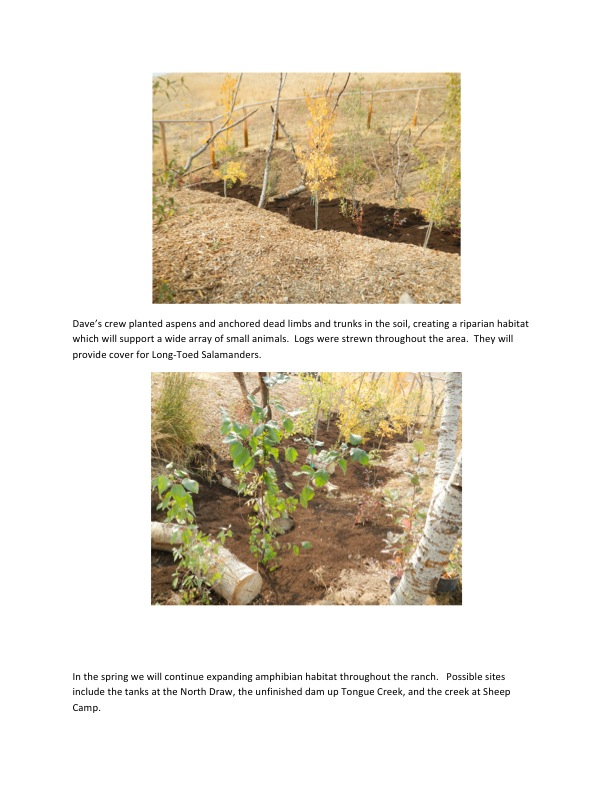 Dave's crew planted aspens and anchored dead limbs and trunks in the soil, creating a riparian habitat which will support a wide array of small animals.