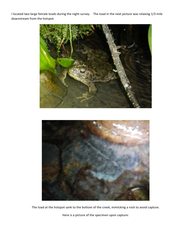 I located two large female toads during the night survey.