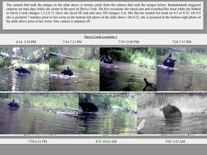 Badonkadonk Bear triggered cameras on nine days while she swam in the pool in Davis Creek.