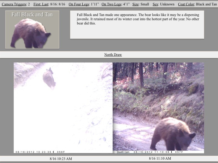 Fall Black and Tan made one appearance. The bear looks like it may be a dispersing juvenile.