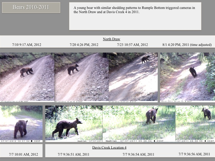 A young bear with similar shedding patterns to Rumple Bottom triggered cameras in the North Draw and at Davis Creek 4 in 2011.