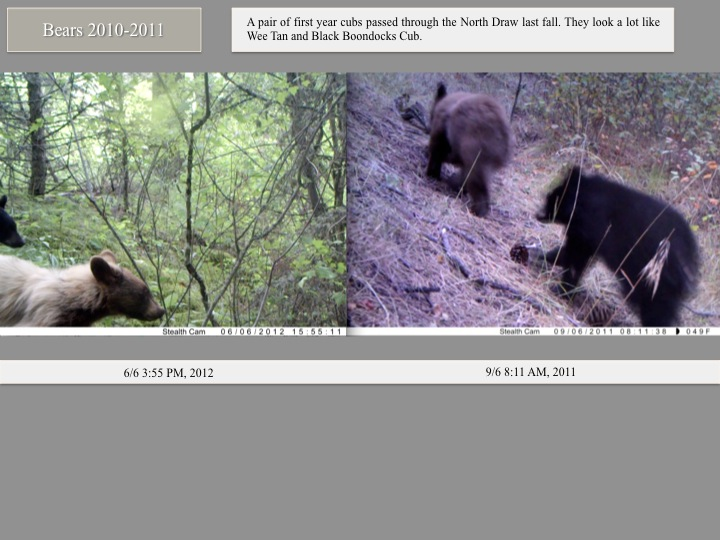 A pair of first year cubs passed through the North Draw last fall. They look a lot like Wee Tan and Black Boondocks Cub.