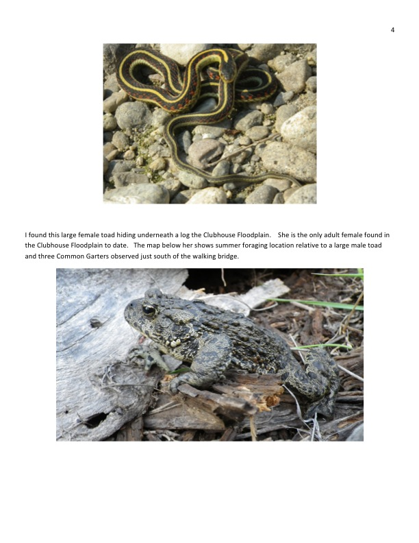 Garter snake and large female toad.