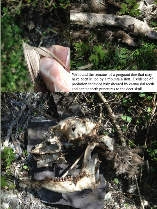 We found the remains of a pregnant doe that may have been killed by a mountain lion. Evidence of predation included hair sheared by carnassial teeth and canine teeth punctures to the deer skull.