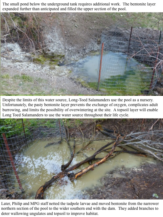 Despite the limits of this water source, Long-Toed Salamanders use the pool as a nursery. Unfortunately, the pasty bentonite layer prevents the exchange of oxygen, complicates adult burrowing, and limits the possibility of overwintering at the site. A topsoil layer will enable Long Toed Salamanders to use the water source throughout their life cycle.
