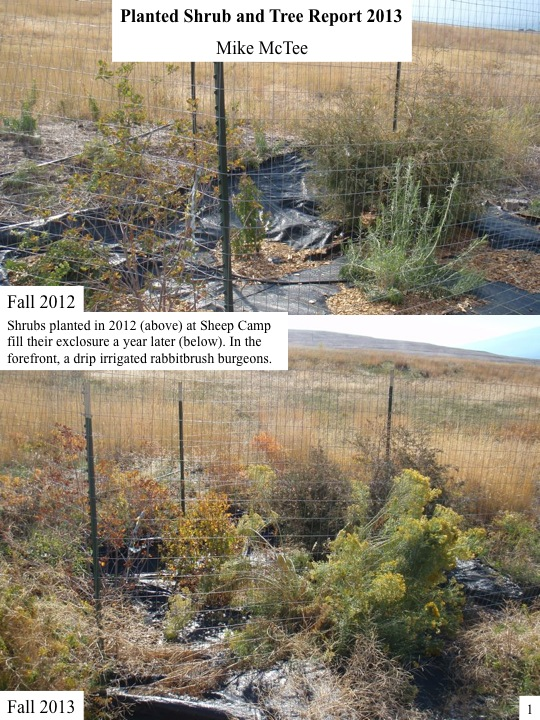Planted Shrub and Tree Report 2013 Mike McTee Shrubs planted in 2012 (above) at Sheep Camp fill their exclosure a year later (below). In the forefront, a drip irrigated rabbitbrush burgeons.